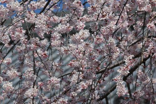 立本寺の桜.JPG